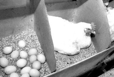 110202-03-01 Идеи бизнеса: самостоятельное разведение кур