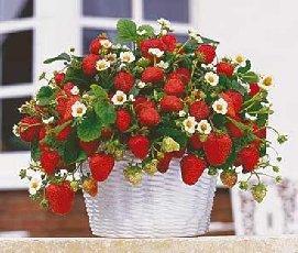 klybnika_2 Бизнес-идеи: Как выращивать клубнику круглый год и хорошо на этом зарабатывать