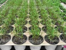 03_18-220x167 Выращивание укропа зимой или прибыльный домашний бизнес