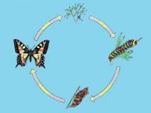 4653715-40d1453ce77a8f72-220x165 Развитие бабочки или как помочь в развитии человеку